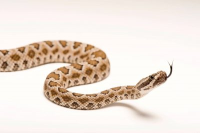 Picture of a Great Basin rattlesnake (Crotalus oreganus lutosus) at Omaha's Henry Doorly Zoo.