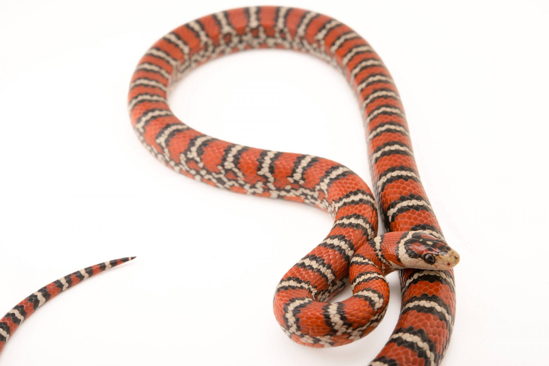 Picture of a Sonoran mountain kingsnake (Lampropeltis pyromelana knoblochi) at Pet Paradise.