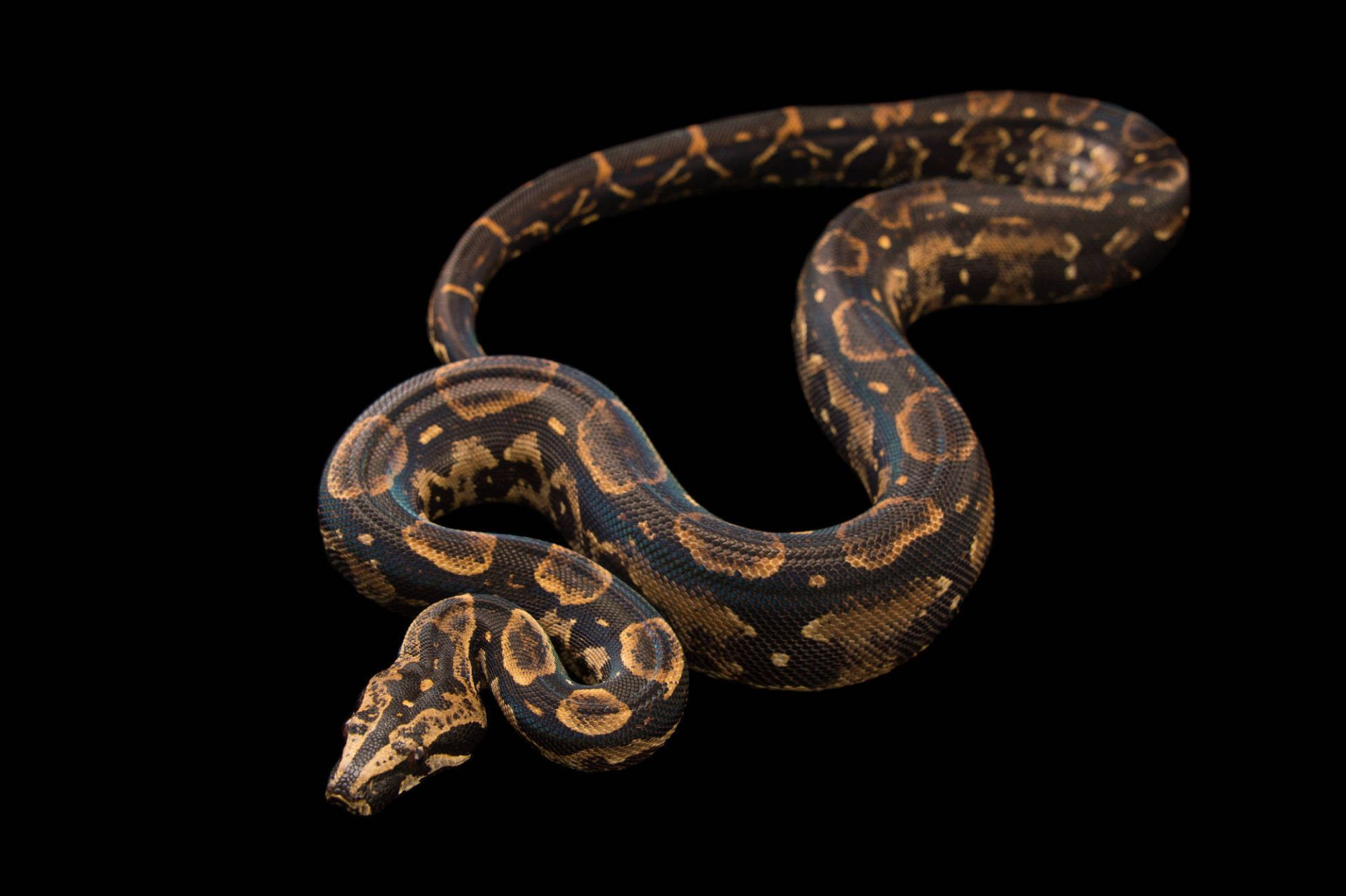 Picture of a Peruvian long tailed boa (Boa constrictor longicauda) at Pet Paradise.