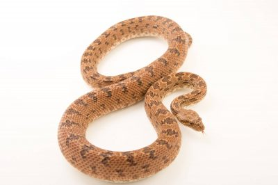 Picture of a Clifford's diadem ratsnake (Spalerosophis diadema cliffordi) at Pet Paradise.