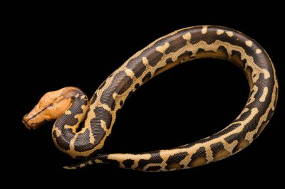 Picture of a Borneo short-tailed python (Python breitensteini) at Pet Paradise.