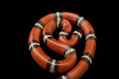 Picture of a Conant's milk snake (Lampropeltis triangulum conanti) at Pet Paradise.