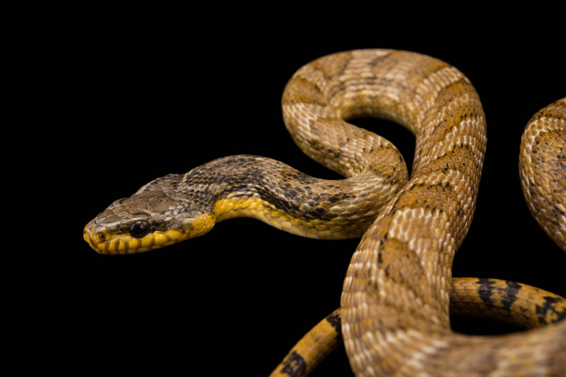 Picture of a Russian rat snake (Elaphe schrenckii) at Pet Paradise.
