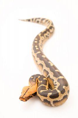 Picture of a Bornean short-tailed python (Python breitensteini) at Pet Paradise.