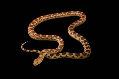 Picture of a cape gopher snake (Pituophis catenifer vertebralis) at Pet Paradise.