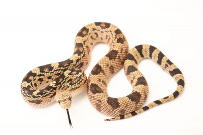 Picture of a Northern pine snake (Pituophis melanoleucus melanoleucus) at Pet Paradise.