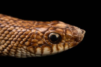 Picture of a speckled hognose snake (Leioheterodon geayi) at Pet Paradise.