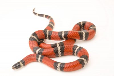 Picture of a Nelson's milksnake (Lampropeltis triangulum nelsoni) at Pet Paradise.