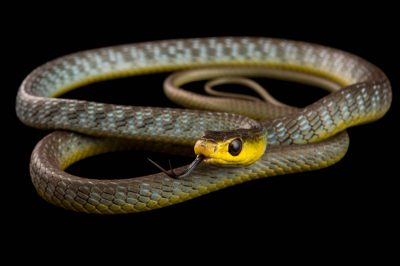 Picture of a common tree snake (Dendrelaphis punctulatus) at the Healesville Sanctuary.
