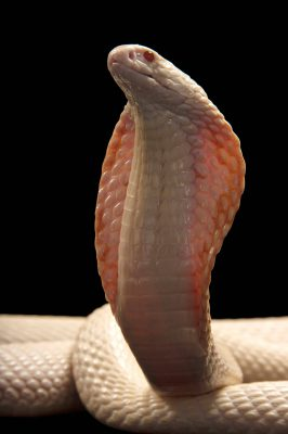 An albino monocled cobra (Naja kaouthia) at the Omaha Henry Doorly Zoo.