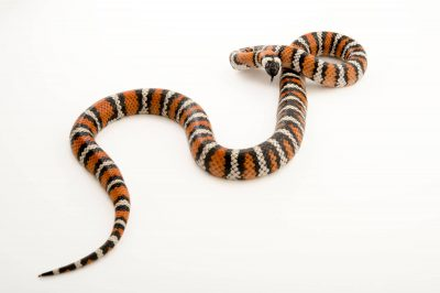 A San Bernardino mountain king snake (Lampropeltis zonata parvirubra) at the LA Zoo.