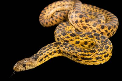 Picture of a San Diego gopher snake (Pituophis catenifer annectens) at the LA Zoo.