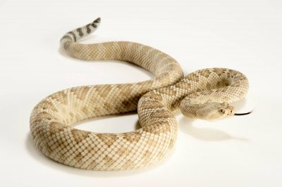Picture of a critically endangered Santa Catalina Island rattlesnake (Crotalus catalinensis) at the LA Zoo.