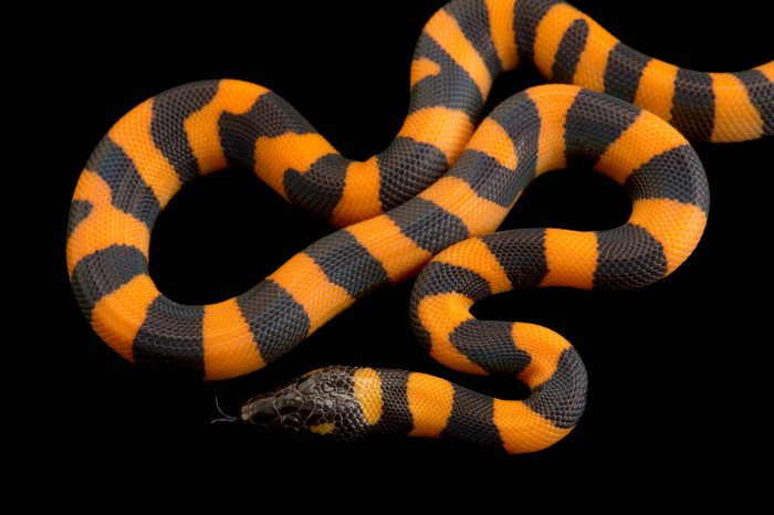Picture of a Bismarck ringed python (Bothrochilus boa) from a private collection.