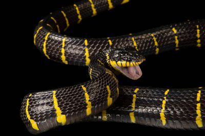 A mangrove snake (Boiga dendrophila melanota) at Zoo Atlanta.