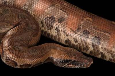 A Sumatran blood python (Python curtus curtus) at Zoo Atlanta.