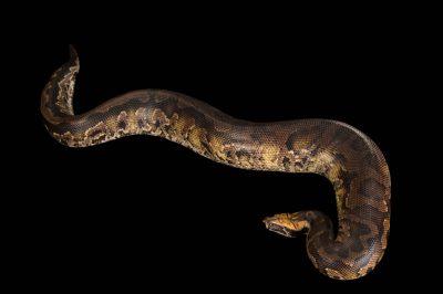 A Bornean blood python (Python brongersmai) at Zoo Atlanta.
