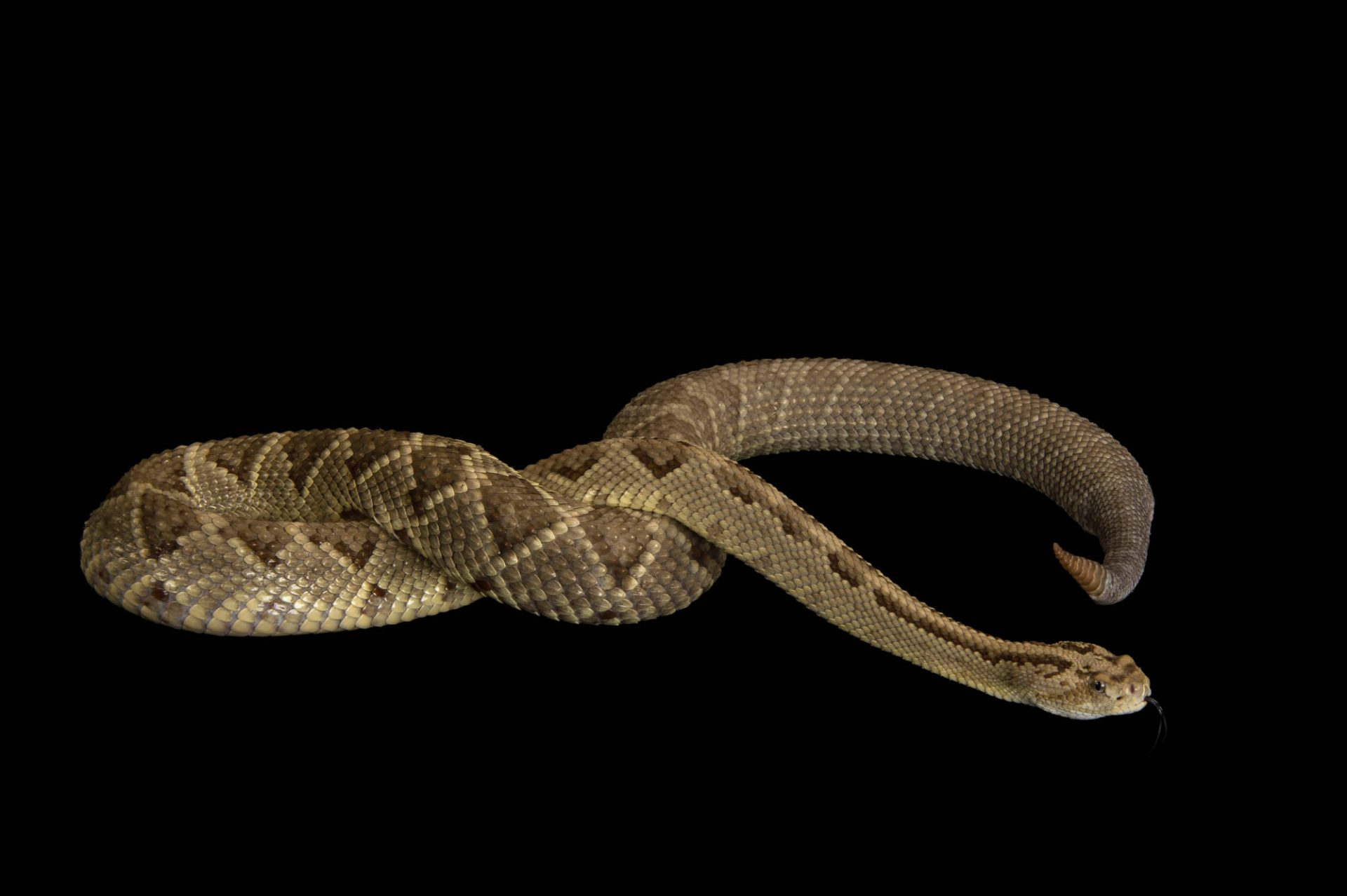 A Yucatan neotropical rattlesnake (Crotalus tzabcan) at Zoo Atlanta.