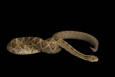 A Yucatan neotropical rattlesnake (Crotalus tzabcan) at Zoo Atlanta.