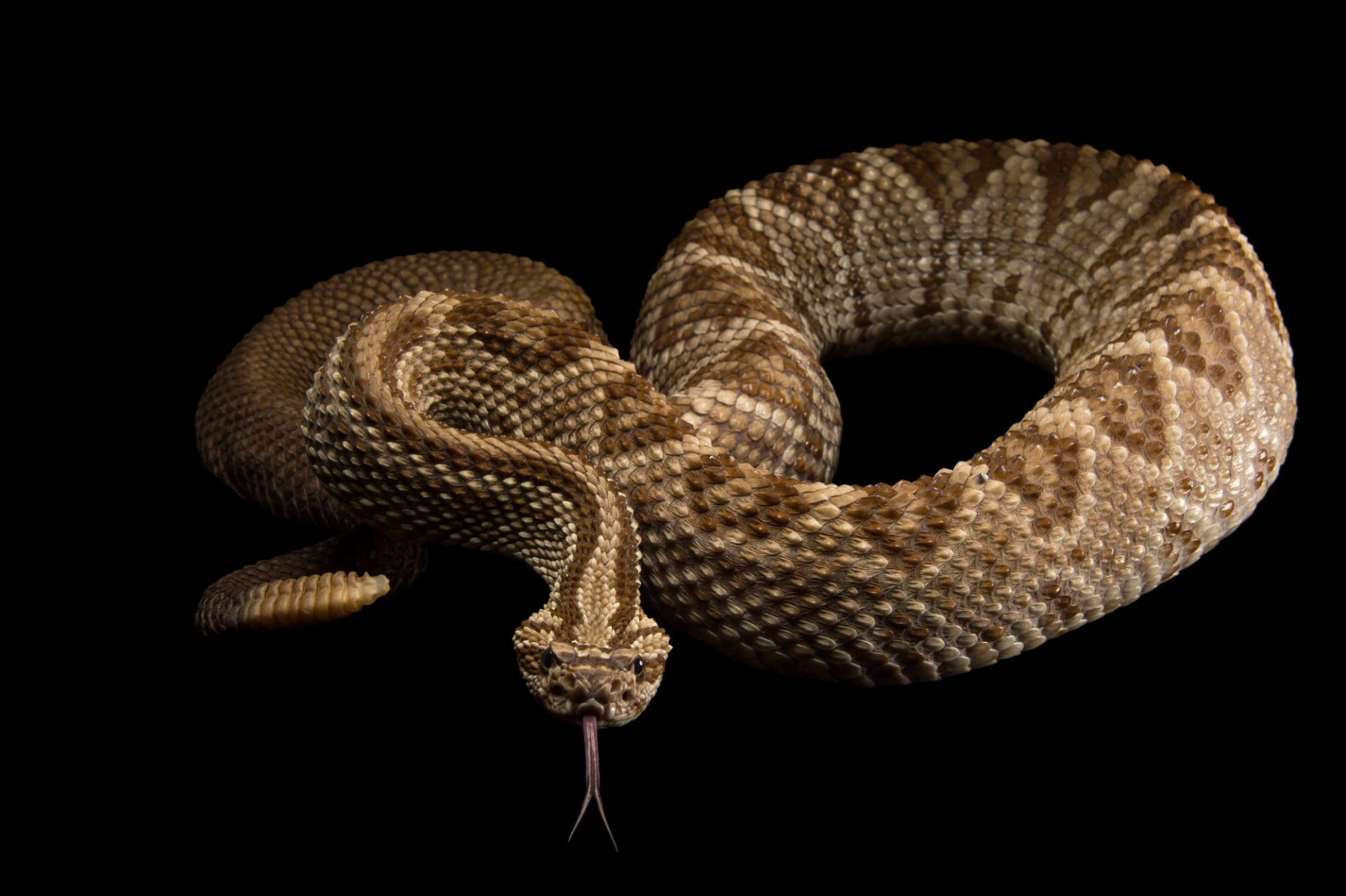 Picture of a Central Brazilian rattlesnake (Crotalus durissus terrificus) at the Oklahoma City Zoo.