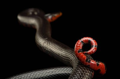 Picture of a western mud snake (Farancia abacura reinwardtii) at the Oklahoma City Zoo.