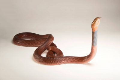 Picture of a red spitting cobra (Naja pallida) at the Oklahoma City Zoo.