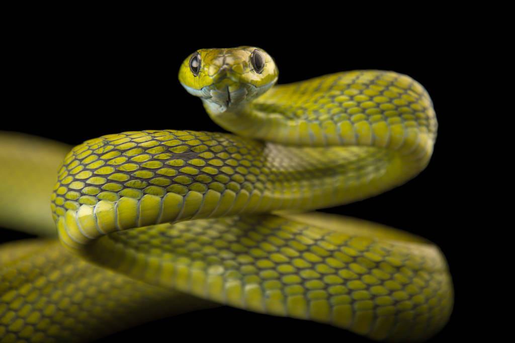 Photo: A green cat snake (Boiga cyanea) at the Assam State Zoo cum Botanical Garden in Guwahati, Assam, India.