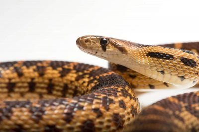 Picture of a Great Basin gopher snake (Pituophis catenifer deserticola) at the Toronto Zoo.