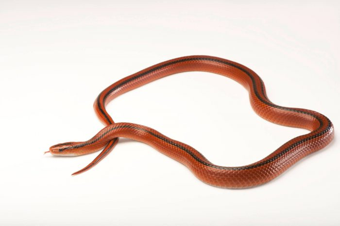 A red bamboo snake (Elaphe porphyracea laticincta) at the Fort Worth Zoo.