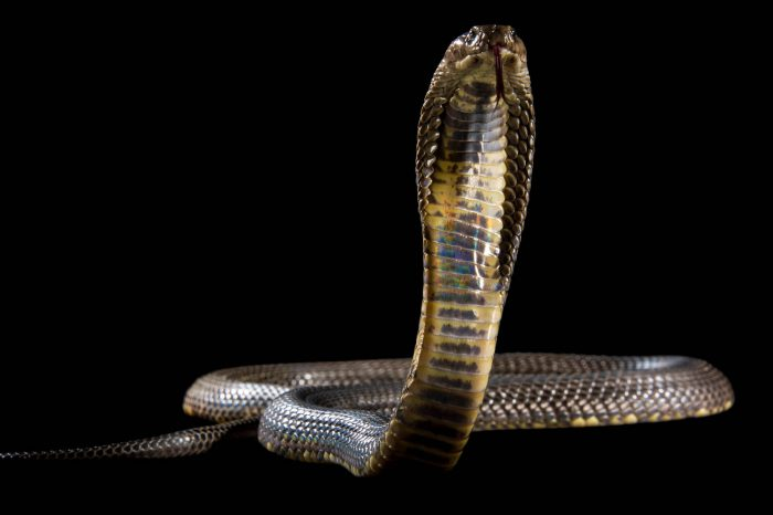 Picture of a Russian or Central Asian cobra (Naja oxiana) at the St. Louis Zoo.