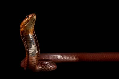 Picture of a red spitting cobra (Naja pallida) at the St. Louis Zoo.