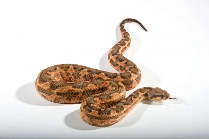 Picture of a Moorish viper (Macrovipera mauritanica) at the St. Louis Zoo.