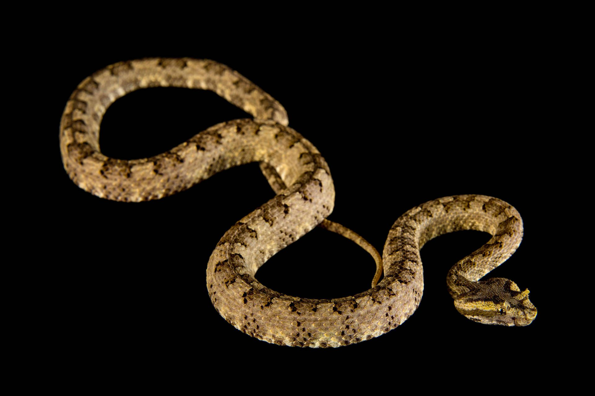 Picture of a Vietnamese eyelash viper or horned pit viper (Protobothrops cornutus) at the St. Louis Zoo.