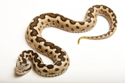 Picture of a vulnerable Southern Lateste's viper or snub-nosed viper (Vipera latastei gaditana) at the St. Louis Zoo.