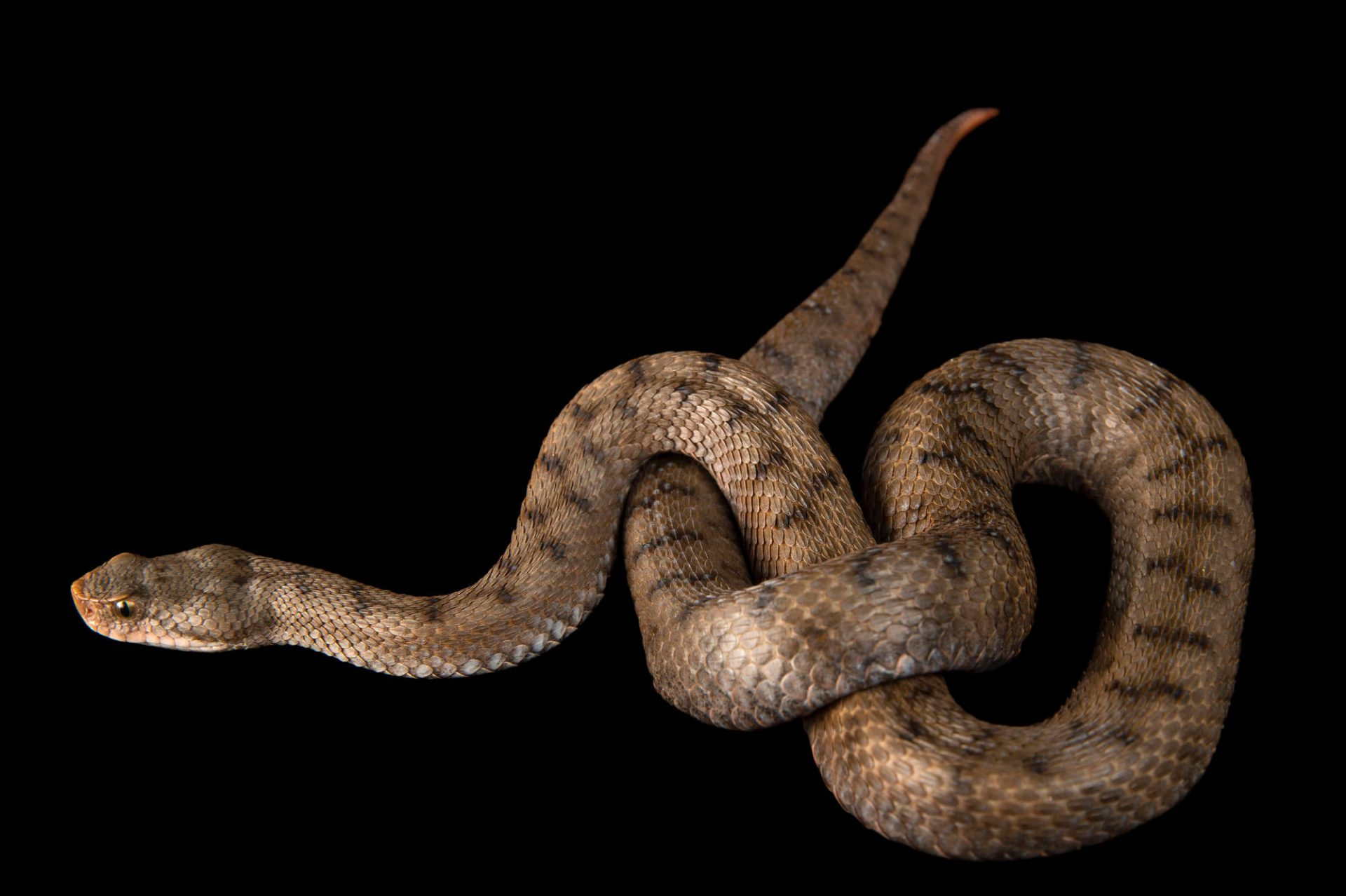Picture of an asp viper (Vipera aspis aspis) at the St. Louis Zoo.