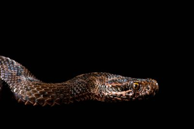 Picture of a vulnerable Renard's meadow viper (Vipera renardi) at the St. Louis Zoo.