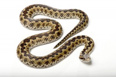 Picture of a Russian viper or Lotievi's viper (Vipera lotievi) at the St. Louis Zoo.