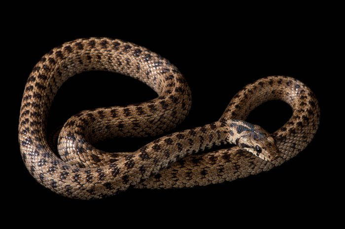 A caucasian rat snake or Transcaucasian rat snake (Zamenis hohenackeri) at the St. Louis Zoo.