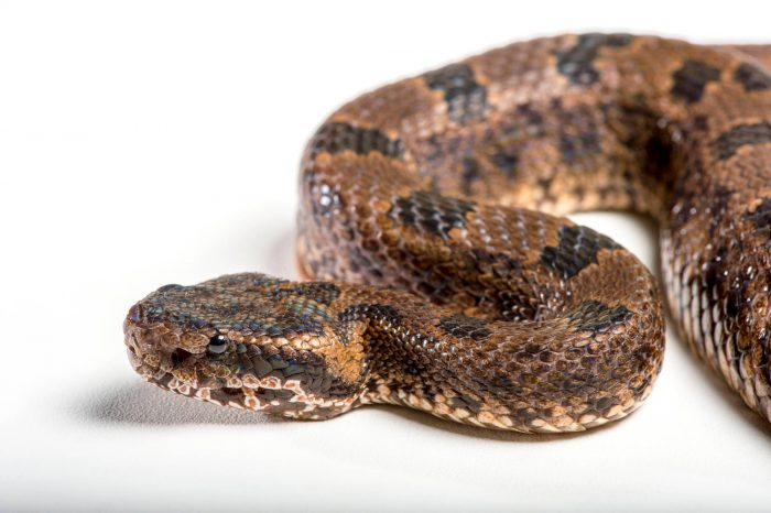 Picture of a Nepal viper or mountain pit viper (Ovophis monticola convictus) at the St. Louis Zoo.