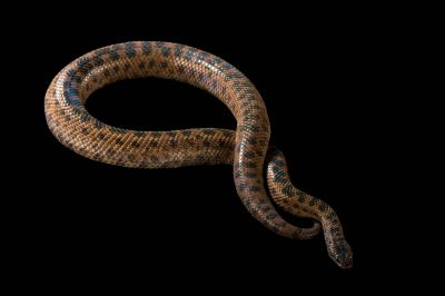 Picture of a Haitian dwarf boa (Tropidophis haetianus) at the St. Louis Zoo.