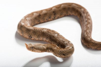 Picture of an Eastern long-nose viper, (Vipera ammodytes meridionalis) from Syrose, Greece, at the St. Louis Zoo.