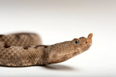 Picture of a transcaucasian long-nosed viper (Vipera transcaucasiana) at the St. Louis Zoo.