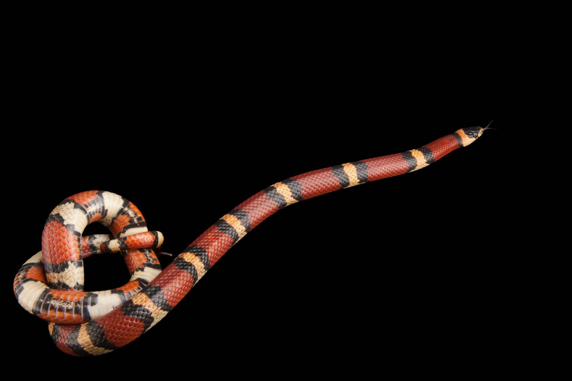 A Louisiana milk snake (Lampropeltis triangulum amaura) at the Houston Zoo.