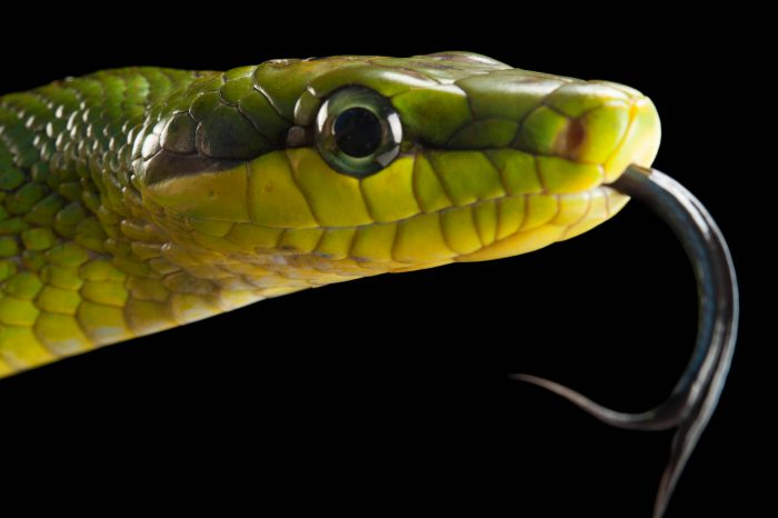 A red-tailed green rat snake (Gonyosoma oxycephalum) at the Houston Zoo.