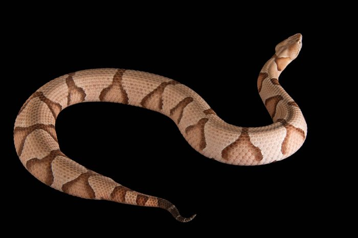 A Southern copperhead (Agkistrodon contortrix contortrix) at the Houston Zoo.