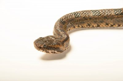 Picture of a mountain pitviper (Ovophis monticola monticola) at the Saint Louis Zoo.