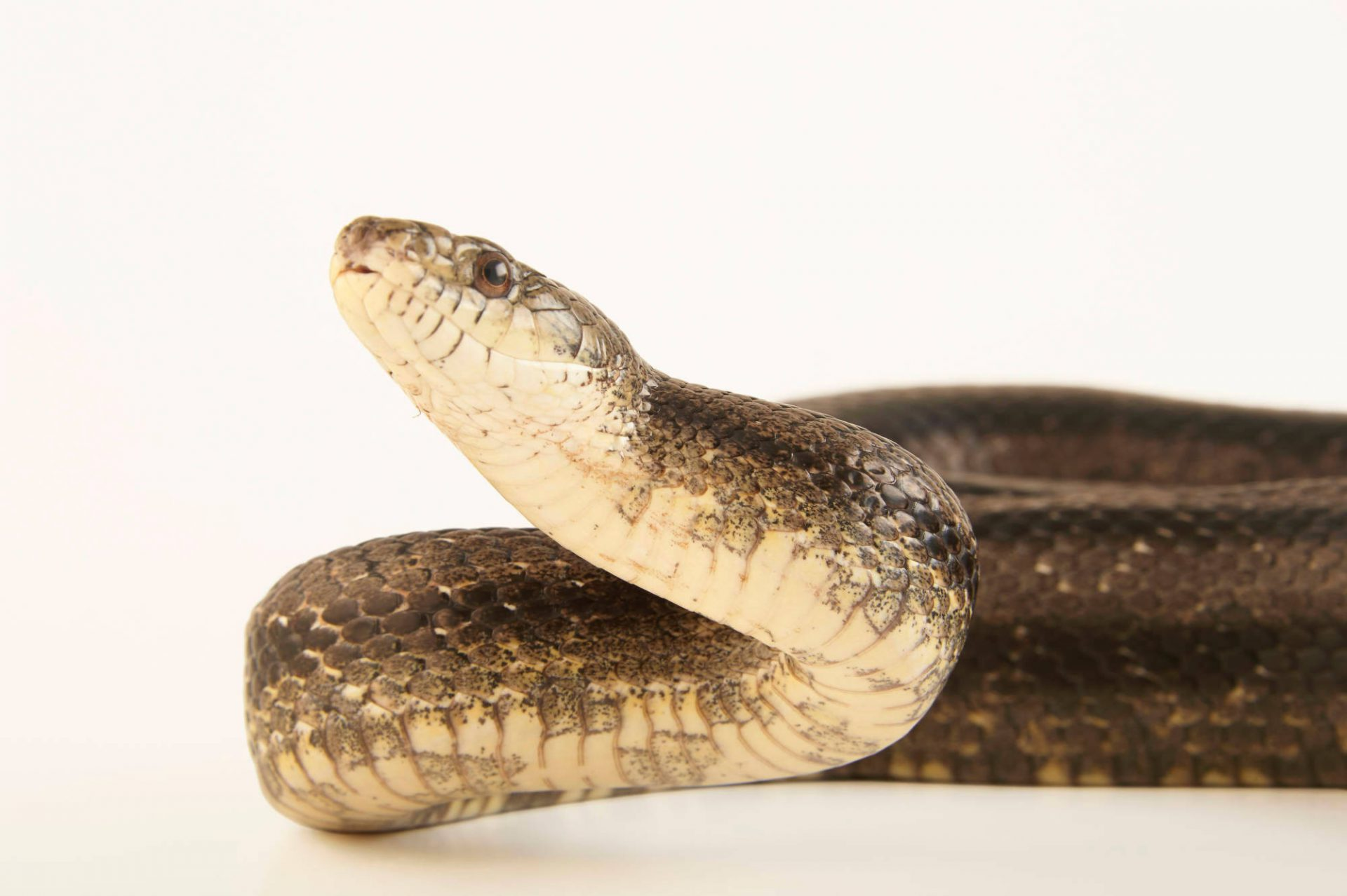 Picture of a western rat snake (Pantherophis obsoletus) at the Buttonwood Park Zoo in New Bedford, Massachusetts.