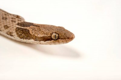 Picture of a desert night snake (Hypsiglena torquata) at Springs Preserve.