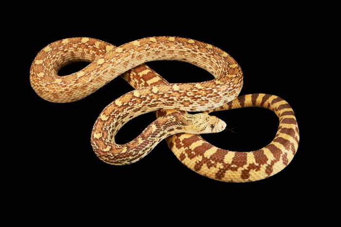 Picture of a gopher snake (Pituophis catenifer affinis) at Springs Preserve.