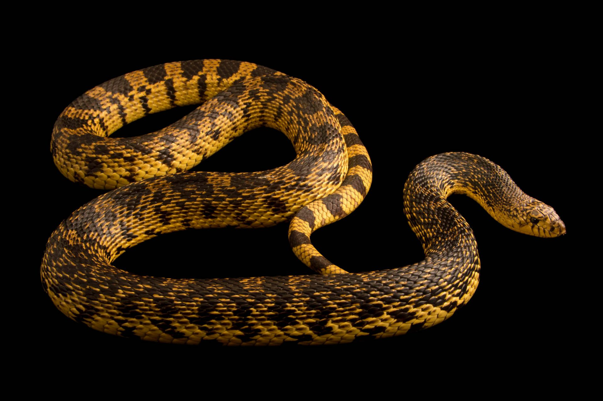 Picture of an endangered Louisiana pine snake (Pituophis ruthveni) at the Central Florida Zoo.